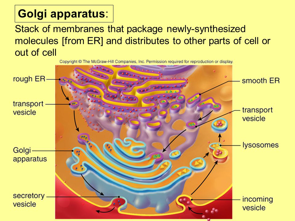 Golgi apparatus: Stack of membranes that package newly-synthesized molecules [from ER] and distributes to other parts of cell or out of cell